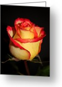 Northwest Photography Greeting Cards - Single Rose Greeting Card by Cathie Tyler