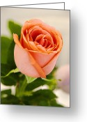 Single Rose Greeting Cards - Single Rose Greeting Card by Chuck Staley