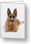 Purebreed Greeting Cards - Snow Portrait Of A German Shepherd Dog Greeting Card by Angie McKenzie