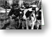 Cows Framed Prints Greeting Cards - Spending Quality Time Together is Important Greeting Card by Danielle Summa
