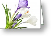 Blooms Photo Greeting Cards - Spring crocus flowers Greeting Card by Elena Elisseeva