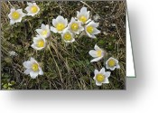 Pasqueflower Greeting Cards - Spring Pasque Flower (pulsatilla Vernalis Greeting Card by Bob Gibbons