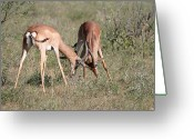African Wildlife Greeting Cards - Springbok Samburu Kenya Greeting Card by Joseph G Holland