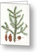Nature Study Painting Greeting Cards - Spruce Twig Greeting Card by Betsy Gray Bell