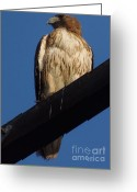 Red Tail Hawks Photo Greeting Cards - Standing Tall Greeting Card by Davon Duncan
