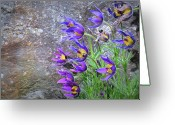 Pasque Flower Greeting Cards - Still Life With Pasque Greeting Card by Paul Causie