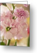 Fragrant Flowers Greeting Cards - Stock (matthiola Incana) Greeting Card by Maria Mosolova