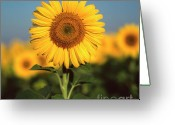 Asteraceae Greeting Cards - Sunflower Greeting Card by Bernard Jaubert