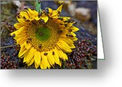 Still Life Photo Greeting Cards - Sunflower covered in ladybugs Greeting Card by Garry Gay