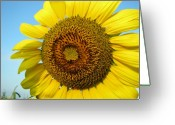 Flowers Floral Greeting Cards - Sunflower Series Greeting Card by Amanda Barcon