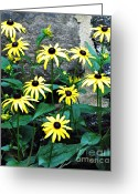 Black Eyed Susans Greeting Cards - Susans Against the Wall Greeting Card by Sarah Loft