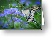 Swallow Tail Butterfly Greeting Cards - Swallow Tail Greeting Card by Linda Pulvermacher