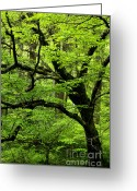 Williams Greeting Cards - Swamp Birch Greeting Card by Thomas R Fletcher