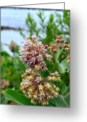 Swamp Milkweed Greeting Cards - Swamp Milkweed Greeting Card by Deborah Ritch