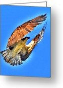 Osprey Photo Greeting Cards - Take Off Greeting Card by Emily Stauring