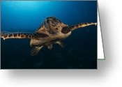 Sea Turtles Greeting Cards - The Hawksbill Sea Turtle, Bonaire Greeting Card by Terry Moore