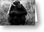 Chimpanzee Greeting Cards - Thinking Greeting Card by David Lee Thompson