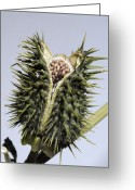 Thorn Apple Greeting Cards - Thorn Apple (datura Stramonium) Seed Pod Greeting Card by Georgette Douwma