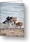 Splashing Greeting Cards - Three dogs playing on beach Greeting Card by Elena Elisseeva