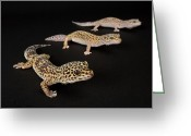 Captive Animals Greeting Cards - Three Female Leopard Geckos Eublepharis Greeting Card by Joel Sartore