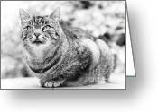Domestic Animal Photo Greeting Cards - Tomcat Greeting Card by Frank Tschakert