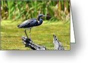 Tricolor Greeting Cards - Tricolored Heron Greeting Card by Al Powell Photography USA