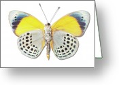 Animal Themes Greeting Cards - Underside Of Brush-footed Butterfly Of Peru Greeting Card by MajchrzakMorel