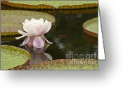 Water Bloom Greeting Cards - Victoria III Greeting Card by Heiko Koehrer-Wagner