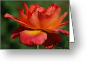 All Greeting Cards - Warm Rose Greeting Card by Kimberly Gonzales