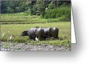 Farming Greeting Cards - Water buffalo Greeting Card by Jane Rix