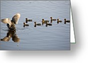Black Beak Greeting Cards - Waterhen Babies Greeting Card by Mark Duffy