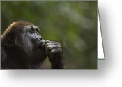 Chin On Hand Greeting Cards - Western Lowland Gorilla Juvenile Male Portrait Greeting Card by Anup Shah