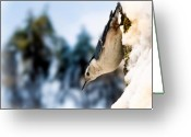 Wildlife Photo Greeting Cards - White Breasted Nuthatch In The Snow Greeting Card by Bob Orsillo