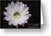 Night Blooming Greeting Cards - White Cactus Flower  Greeting Card by Saija  Lehtonen