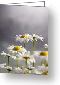 Romantic Greeting Cards - White Daisies Greeting Card by Carlos Caetano