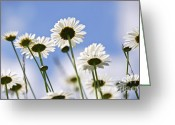 Backlit Greeting Cards - White daisies Greeting Card by Elena Elisseeva
