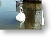 Canada Swan Greeting Cards - White North American Mute Swan Greeting Card by Alex Roussinov