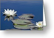 Aquatic Flower Greeting Cards - White Water Lily Greeting Card by Heiko Koehrer-Wagner
