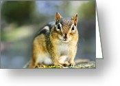 Paws Greeting Cards - Wild chipmunk Greeting Card by Elena Elisseeva