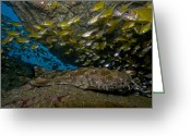 Cavern Greeting Cards - Wobbegong Shark And Cardinalfish, Byron Greeting Card by Mathieu Meur
