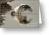 Audubon Greeting Cards - Wood Stork Winging It Greeting Card by Al Powell Photography USA