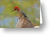 Woodpecker Photos Greeting Cards - 1- Woodpecker Greeting Card by Joseph Keane