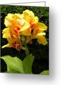 Canna Greeting Cards - Yellow Canna Lily Greeting Card by Terri Mills