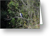 Audubon Greeting Cards - Yellow-crowned Night-Heron Greeting Card by Al Powell Photography USA