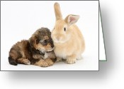 Cross Breed Greeting Cards - Yorkipoo Pup With Sandy Rabbit Greeting Card by Mark Taylor