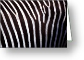 Zebra Photo Greeting Cards - Zebras Hide Greeting Card by John Foxx