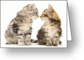 Coon Greeting Cards - Kittens Greeting Card by Jane Burton