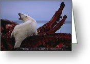 Ursus Maritimus Greeting Cards - Untitled Greeting Card by National Geographic