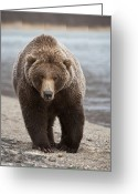 Looking At Camera Greeting Cards - Grizzly Bear Ursus Arctos Horribilis Greeting Card by Matthias Breiter