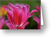 Tulips Pastels Greeting Cards - Tulips Greeting Card by Robert Ullmann